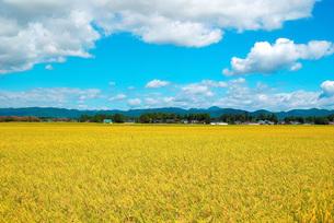 収穫直前の田園の写真素材 [FYI00247249]