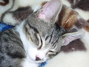 ペットのネコの写真素材 [FYI00247281]