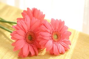 ピンクのガーベラの写真素材 [FYI00247320]