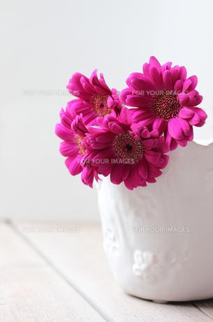 ピンクのガーベラの写真素材 [FYI00247338]