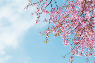 sakuraの写真素材 [FYI00247423]