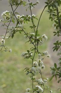 白モッコウバラ Rosa  bankioo R br 2の写真素材 [FYI00248437]