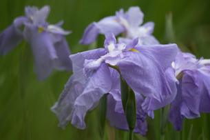 はなしょうぶ Japanese irisの写真素材 [FYI00248586]