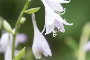 ぎぼうし frogrant piantain-lilyの写真素材 [FYI00248598]