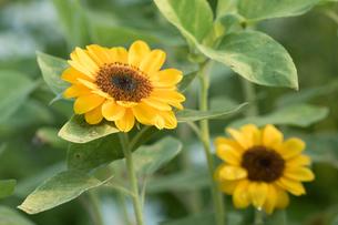 ひまわり Common sunfiowerの写真素材 [FYI00248605]