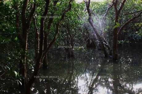 世界自然遺産候補地 奄美大島 マングローブ原生林の素材 [FYI00248656]
