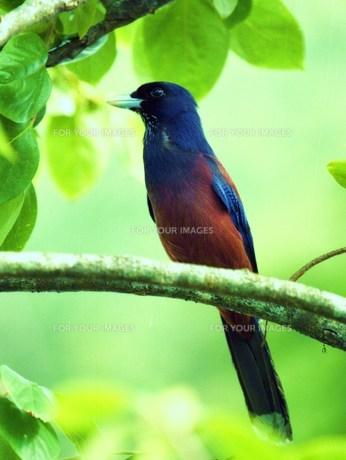 天然記念物 ルリカケス 鹿児島県県鳥の素材 [FYI00248668]