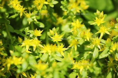 黄色い野花 ハママンネングサの素材 [FYI00248694]