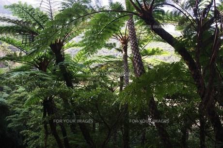 世界自然遺産候補地 奄美大島 原生林の素材 [FYI00248730]