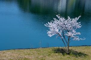 水辺の桜の素材 [FYI00248744]