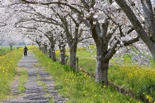 老人と桜の写真素材 [FYI00248750]