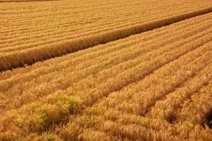 麦畑の写真素材 [FYI00248751]