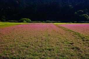 れんげ畑の写真素材 [FYI00248756]