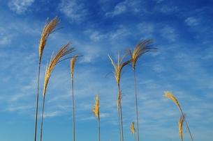青空とススキの写真素材 [FYI00248782]