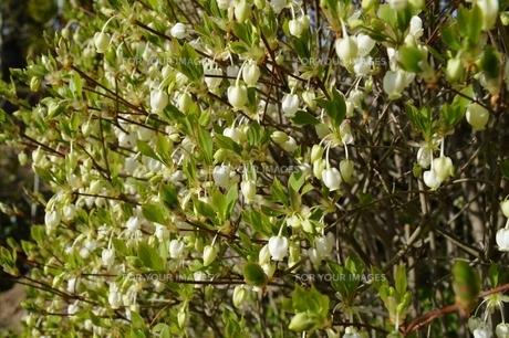 春のドウダンツツジの素材 [FYI00248798]