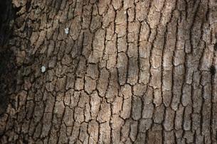 クスノキの樹皮の写真素材 [FYI00248799]