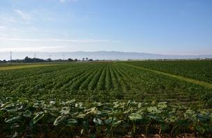 大豆畑と耳納連山の写真素材 [FYI00248801]