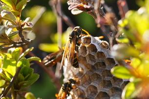 アシナガ蜂と巣の写真素材 [FYI00248948]