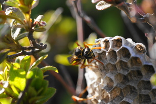 アシナガ蜂と巣の写真素材 [FYI00248950]