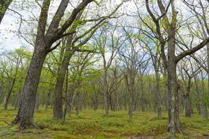 日光 光徳牧場の初夏の森の写真素材 [FYI00248970]