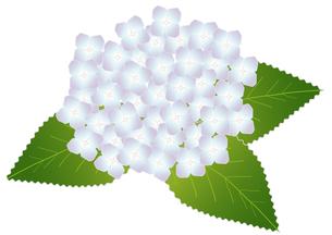 紫陽花の写真素材 [FYI00249072]