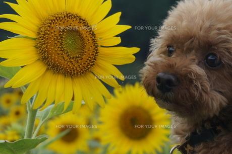 ひまわりと犬の写真素材 [FYI00249536]