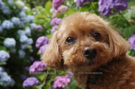 犬とあじさいの写真素材 [FYI00249549]
