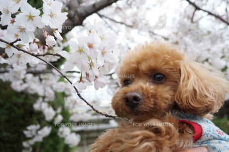 桜を眺める子犬の写真素材 [FYI00249553]