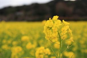 菜の花の写真素材 [FYI00249585]