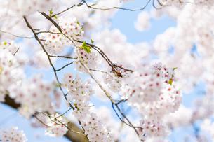 桜の写真素材 [FYI00249602]