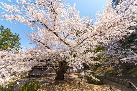 弘前城 日本最古のソメイヨシノの写真素材 [FYI00249610]