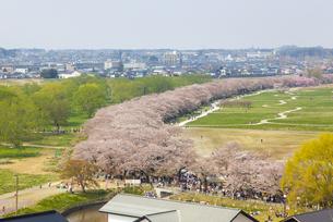 北上展勝地 桜の写真素材 [FYI00249612]