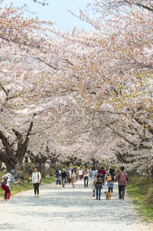 岩手 北上展勝地の桜の写真素材 [FYI00249619]