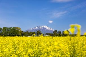 岩手山と菜の花畑の写真素材 [FYI00249622]