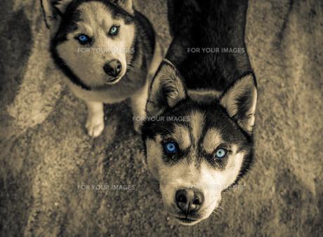 リラ山のハスキー犬の素材 [FYI00249676]