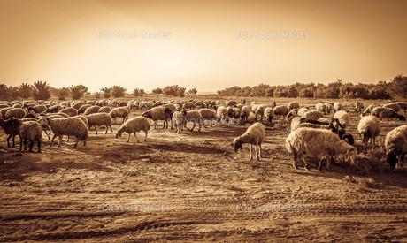 羊の群れの写真素材 [FYI00249802]