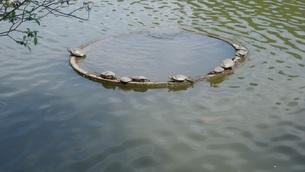 亀のひなたぼっこの写真素材 [FYI00249880]