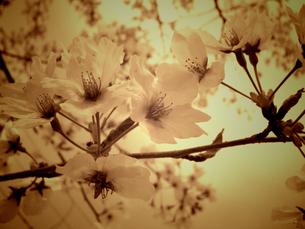 桜 モノクロの写真素材 [FYI00249954]