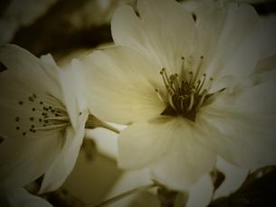 桜 モノクロの写真素材 [FYI00249972]