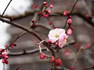 梅の写真素材 [FYI00250009]