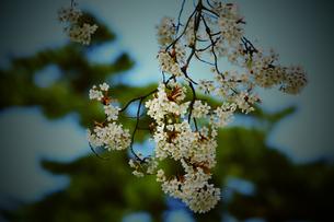 桜の写真素材 [FYI00250014]