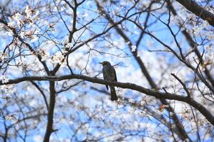 鳥と桜の写真素材 [FYI00250015]