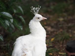 白孔雀の写真素材 [FYI00250052]