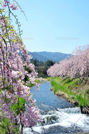 山里の桜の素材 [FYI00250107]