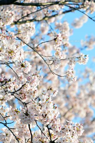 春あたたかの写真素材 [FYI00250122]