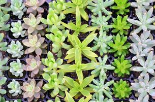 並ぶ多肉植物の写真素材 [FYI00250152]