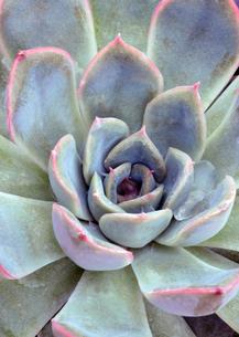 多肉植物1の写真素材 [FYI00250156]