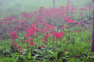 霧の中のクリンソウの写真素材 [FYI00250165]