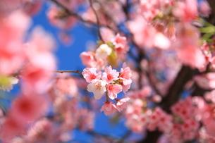 空と桜の写真素材 [FYI00250381]
