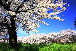 空と桜の写真素材 [FYI00250383]